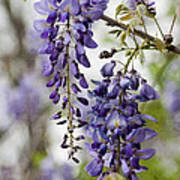 Draping Lavender Purple Wisteria Vines Poster