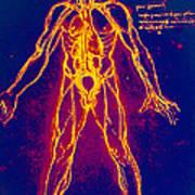 Drawing Of Human Venous System (leonardo Da Vinci) Poster