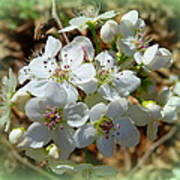 Dreams Of Pear Blossoms Poster