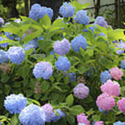 Dreamy Blue And Pink Hydrangeas Poster