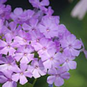 Dreamy Lavender Phlox Poster