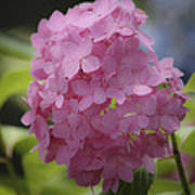 Dreamy Pink Mophead Hydrangea Squared Poster