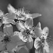 Dreamy Spring Blossoms In Black And White Poster