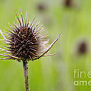 Dried Thistle Poster by Carlos Caetano