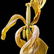 Dried Tulip Poster