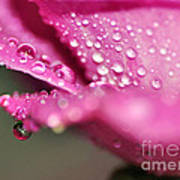 Droplet On Rose Petal Poster
