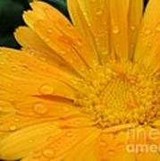 Drops On Marigold Poster