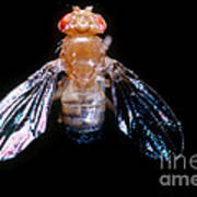 Drosophila With Dichaete Wings Poster