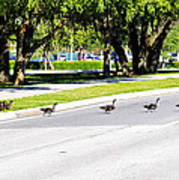 Duck Crossing Poster