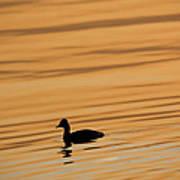 Duck On Golden Water Poster