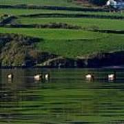 Ducks In Dingle Harbour Poster