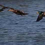 Ducks In Flight 1 Poster
