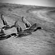 Ducks In Flight V2 Bw Poster