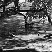 Ducks In The Shade In Black And White Poster