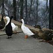 Ducks On A Walk Poster