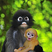 Dusky Leaf Monkey And Baby Poster