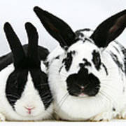 Dutch Rabbits Poster