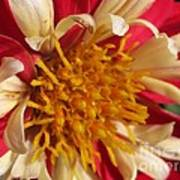 Dwarf Dahlia From The Collarette Dandy Mix Poster