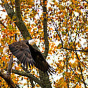 Eagle In Autumn Poster
