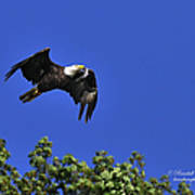 Eagle Over The Tree Top Poster
