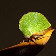 Eared Treehopper Poster