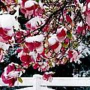 Early Magnolia Late Snow Poster