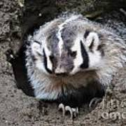 Early Morning Badger Poster