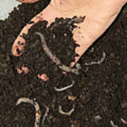 Earthworms In Soil Poster by Sheila Terry