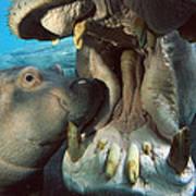 East African River Hippopotamus Poster