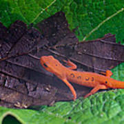 Easterm Newt Nnotophthalmus Viridescens 12 Poster