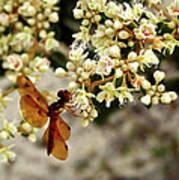 Eastern Amberwing On Wild Buckwheat Poster