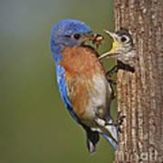 Eastern Bluebird Feeding Chick Poster