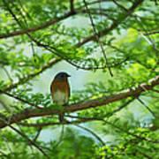 Eastern Bluebird In Bald Cypress Tree Poster