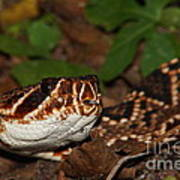 Eastern Diamondback Poster by Lynda Dawson-Youngclaus