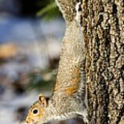 Eastern Gray Squirrel Sciurus Poster