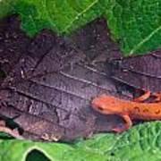 Eastern Newt Notophthalmus Viridescens 26 Poster