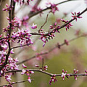 Eastern Redbud Asian Style Poster