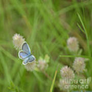 Eastern Tailed Blue Butterfly Poster