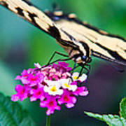 Eastern Tiger Swallowtail 9 Poster