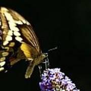 Eastern Tiger Swallowtail Butterfly On Butterfly Bush Poster