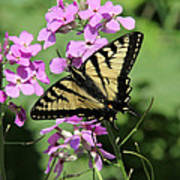 Canadian Tiger Swallowtail On Phlox Poster
