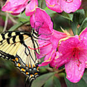 Eastern Tiger Swallowtail On Azalea Poster