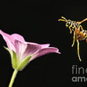 Eastern Yellow Jacket Wasp In Flight Poster