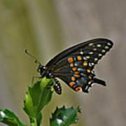 Ebony Butterfly Poster