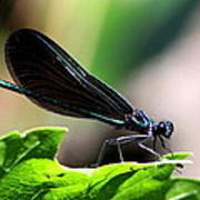 Ebony Jewelwing In The Spotlight Poster