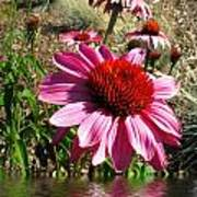 Echinacea In Water Poster
