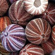 Edible Sea Urchin Souvenirs Poster