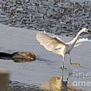 Egret Being Chased By Alligator Poster