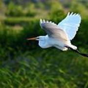 Egret Passing By  Poster