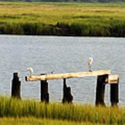 Egrets In The Salt Marsh Poster